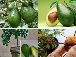 como plantar abacate abacateiro
