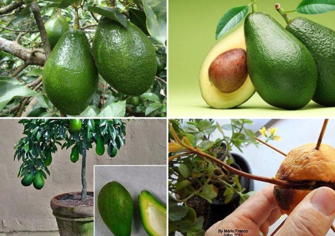 veja como plantar abacate