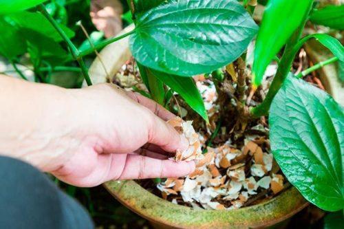 Como usar casca de ovo nas plantas como adubo (1)