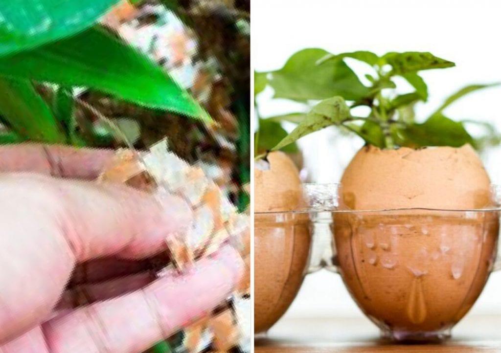 casca de ovo nas plantas
