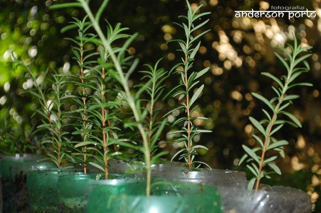 Como plantar alecrim