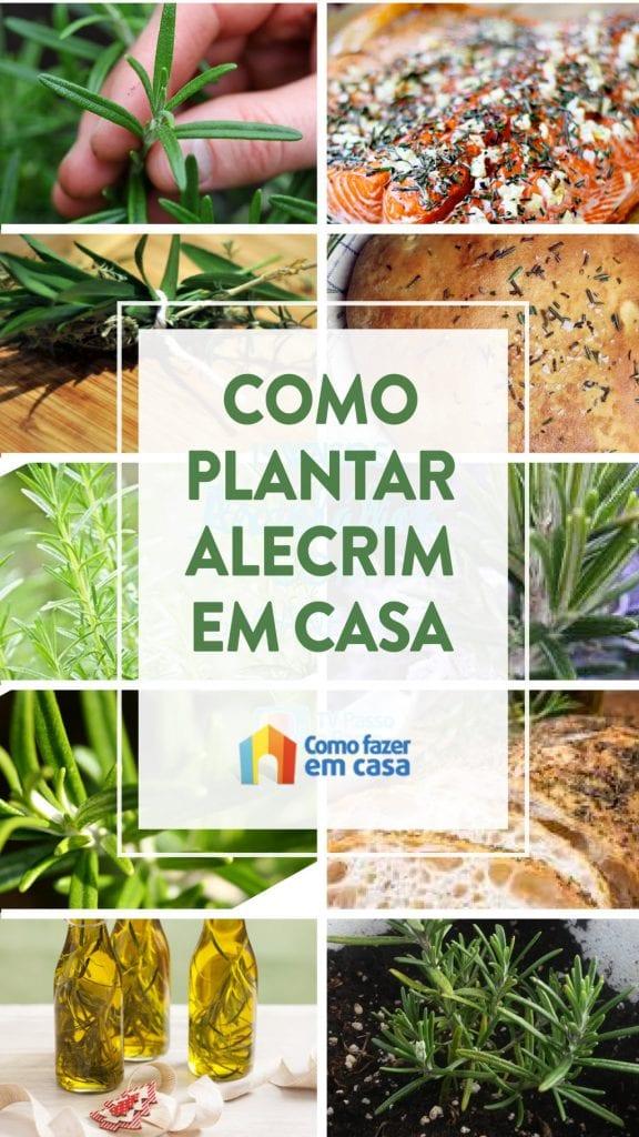 como plantar alecrim (10)