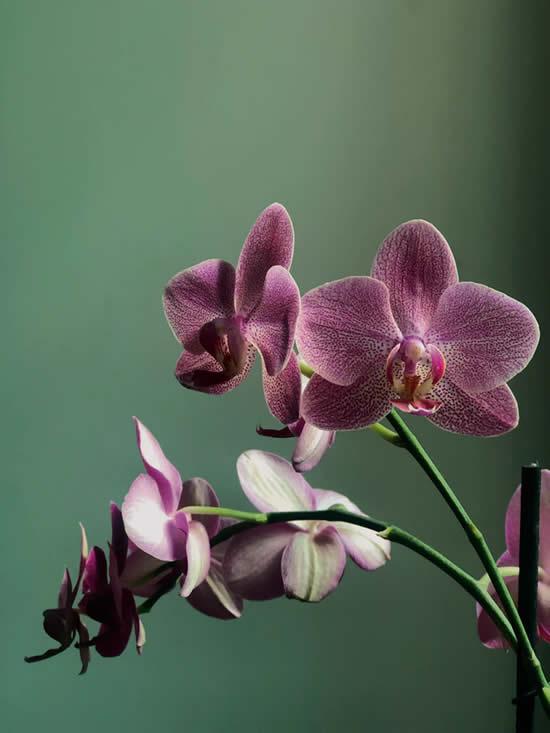 Quando devo regar minhas orquídeas?
