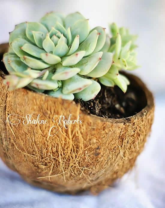 Vasos lindos com coco