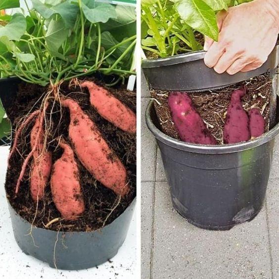 Como plantar batata doce em balde