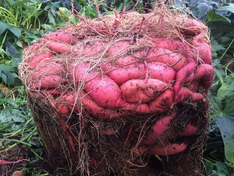Batata doce plantada em vaso