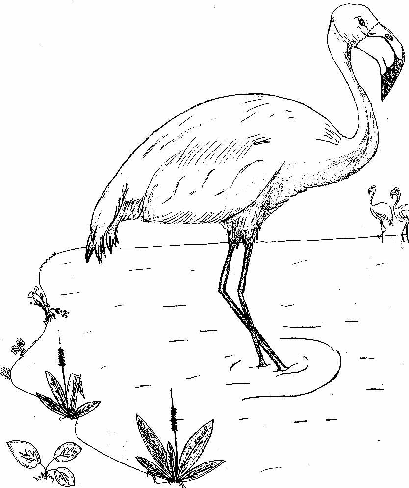 Imagem de Flamingo para colorir