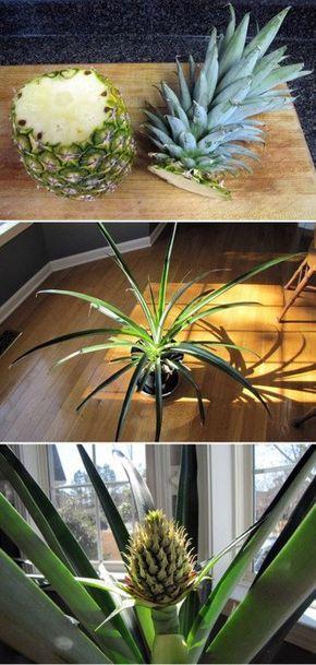 Como plantar abacaxi