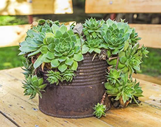 Plante suculentas de forma diferente