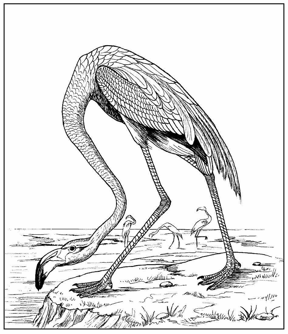 Página para colorir de Flamingo