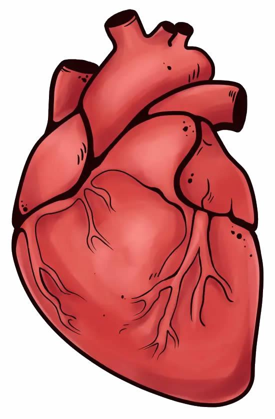 Desenho de coração realístico