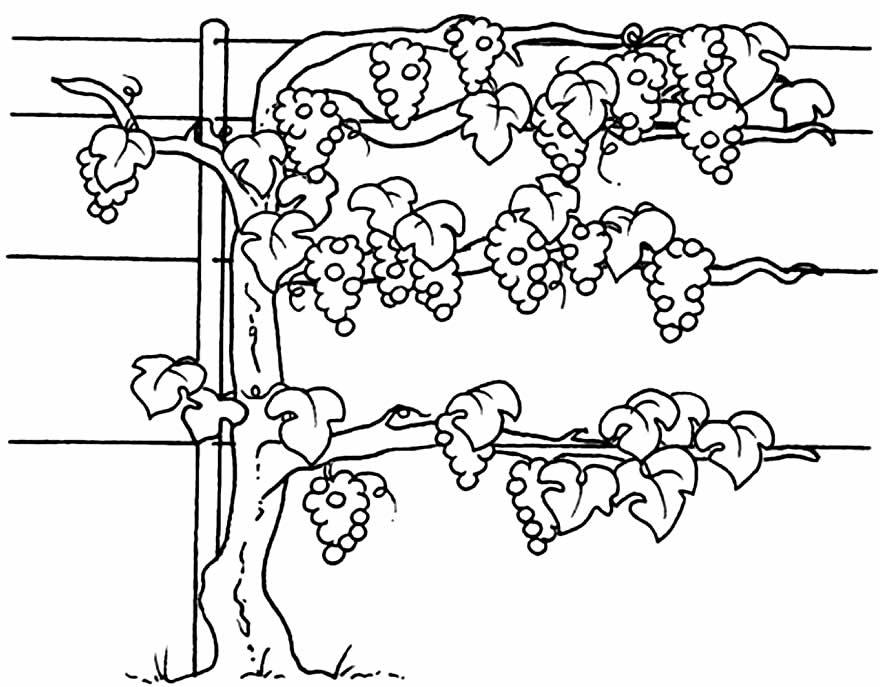 Desenho de Uvas para pintar e colorir