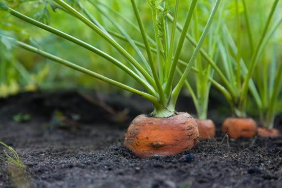 cenoura a partir do talo