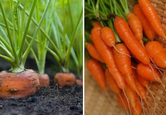 como plantar cenouras em casa