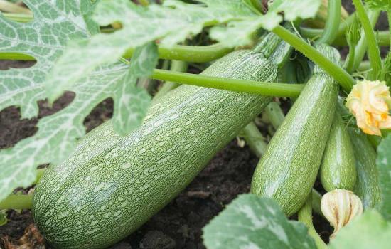 como plantar abobrinha em casa