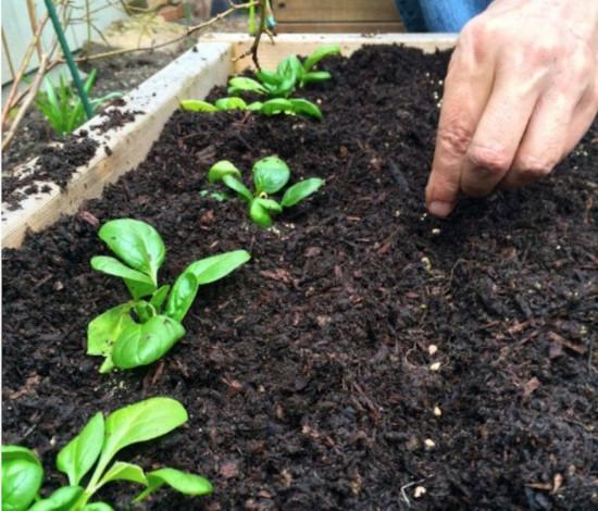 semeadura da alface
