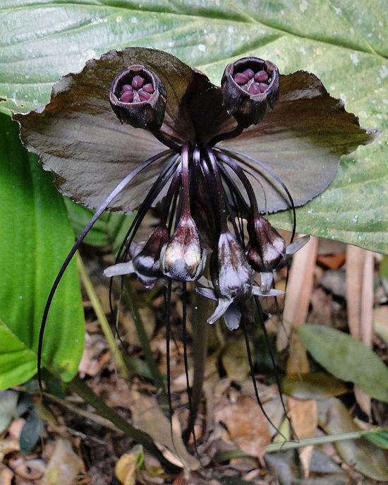 Flor Morcego